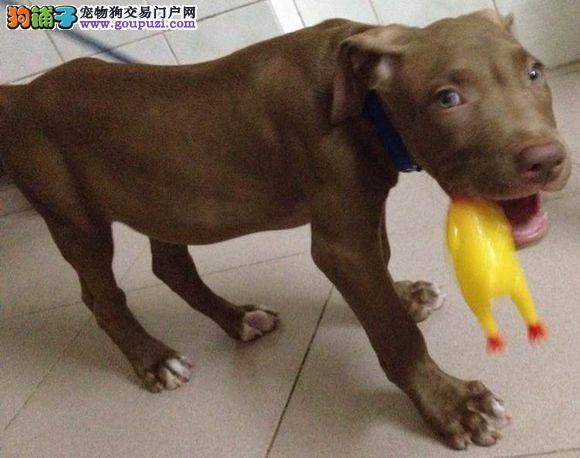 武汉自家养殖纯种比特犬低价出售价格美丽品质优良