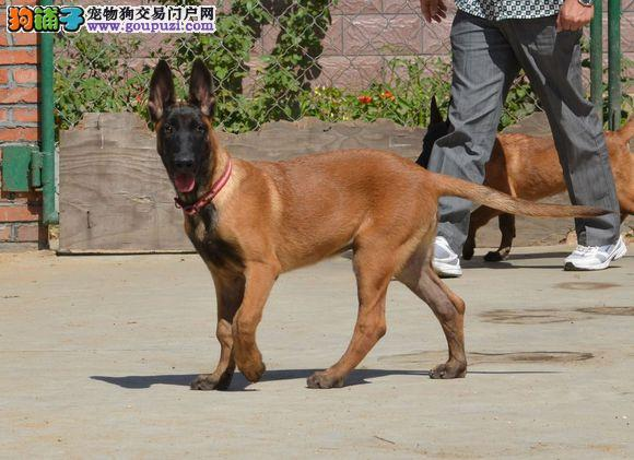 中国最大的马犬繁殖基地出售纯种马犬 保纯保健康