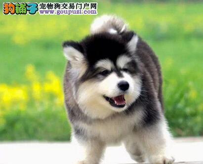 武汉自家繁殖的十字脸阿拉斯加犬找新家 疫苗驱虫齐全