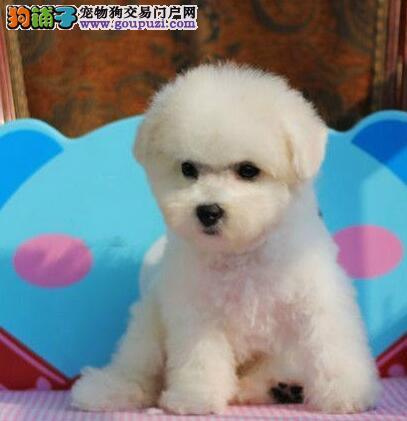 出售多种颜色重庆纯种比熊幼犬品质保障可全国送货