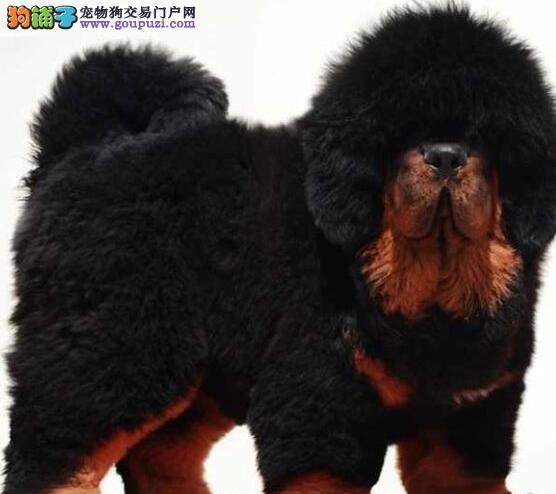 知名獒园转让极品藏獒重庆市区内购犬可送货