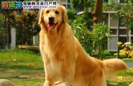 太原自家繁殖的大毛量金毛犬直销 喜欢的朋友别错过