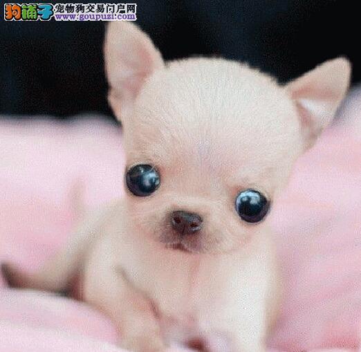 CKU犬舍认证廊坊出售纯种吉娃娃均有三证保障