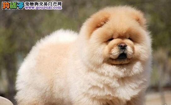 极品松狮幼犬 真实照片保纯保质 签订活体协议