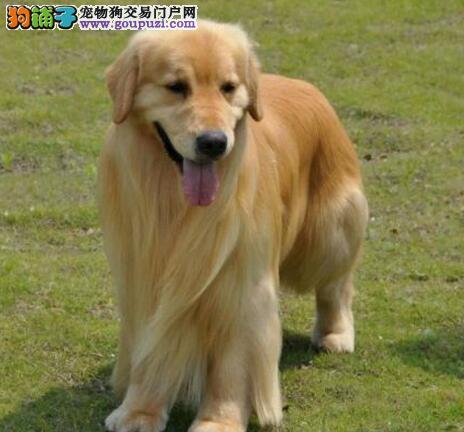 颜色全品相佳的金毛纯种宝宝热卖中微信咨询看狗