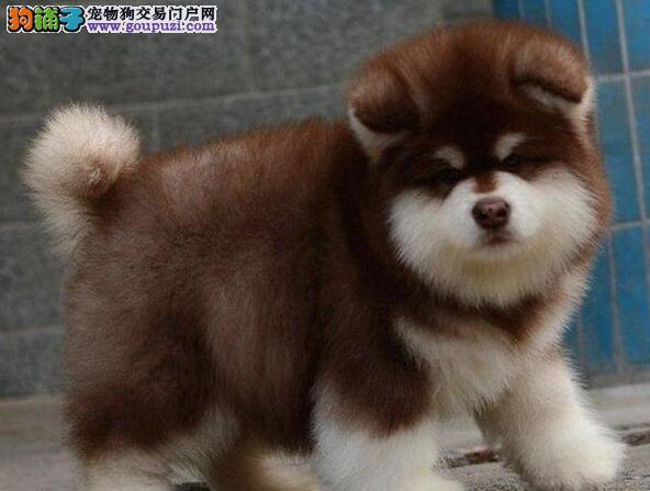 东莞犬舍直精品阿拉斯加幼犬 签订购犬协议完善售后