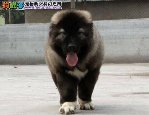北京犬舍专业繁殖直销高加索犬 疫苗驱虫已做好可货运