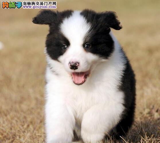 边境牧羊犬重庆CKU认证犬舍自繁自销狗贩子请绕行
