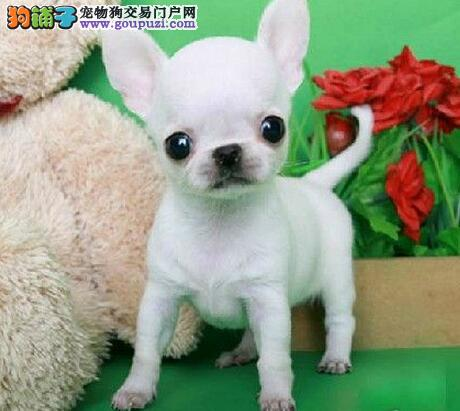 买纯种墨西哥吉娃娃幼犬、大眼睛苹果头、