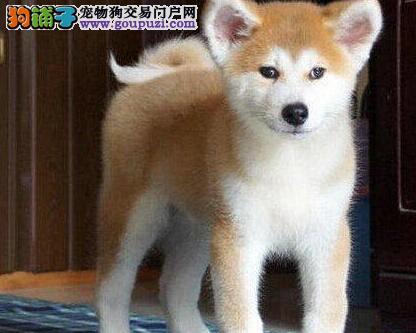 赛级秋田 价格暑期打对折  买狗还送狗用品