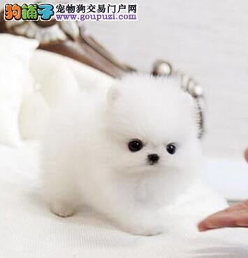 低价出售哈多利球形的贵阳博美犬 可随时上门选购看狗