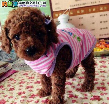 宁波专业犬舍直销韩系泰迪犬 做好进口疫苗国外引进