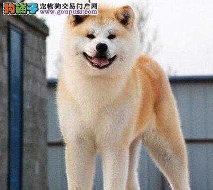 品质健康有保障武汉秋田犬热卖中最优秀的售后