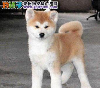 纯正血统疫苗齐全的日系秋田犬转让 杭州市内免费送货