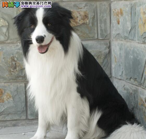 家养纯种边境牧羊犬出售南宁地区可上门看狗