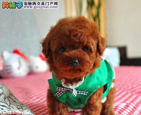 正规实体宠物店低价出售武汉泰迪犬 质量第一买的安心