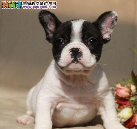 西安本地出售高品质法国斗牛犬宝宝专业繁殖中心值得信赖