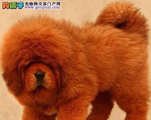 上海出售高品质凶猛的铁包金藏獒幼仔品质保证欢迎选购