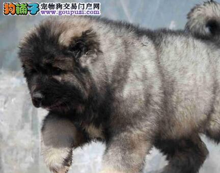 重庆最大犬舍出售多种颜色高加索签订三包合同