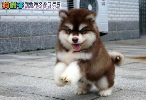 转让南昌阿拉斯加雪橇犬血统纯正 签署终身售后协议