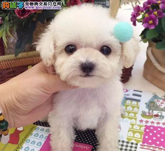 重庆自家繁殖的深红色泰迪犬 希望大家上门选购看种犬
