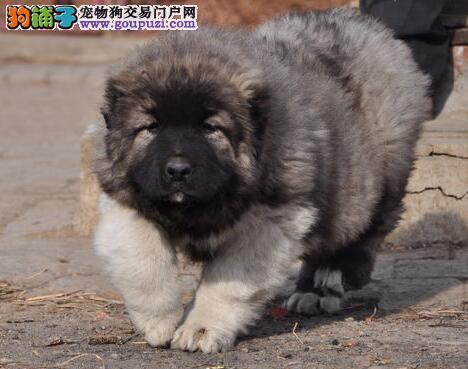 青岛犬舍售俄罗斯血系高加索幼犬 超低价格 速来选购