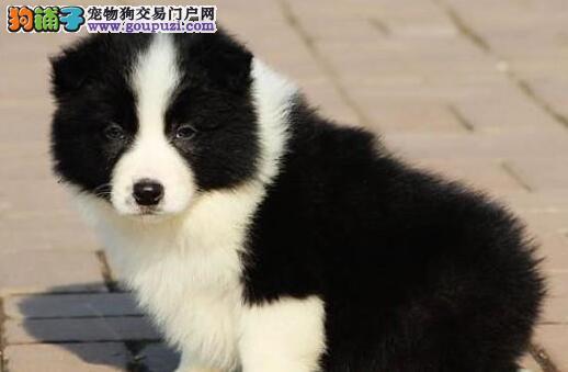 出售温顺聪明赛级南昌边境牧羊幼犬 终身售后