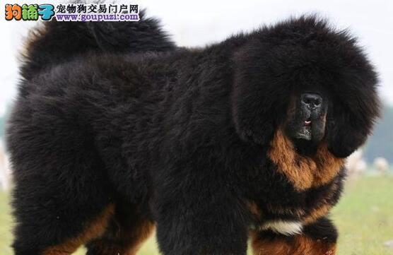 完美品相的南昌藏獒幼犬找新家 买的放心养的舒心