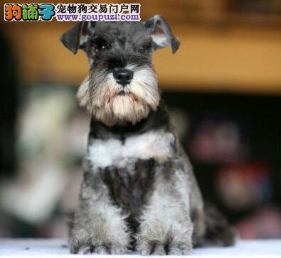 南昌顶级犬舍转让纯种白胡子老头雪纳瑞幼犬 公母均有