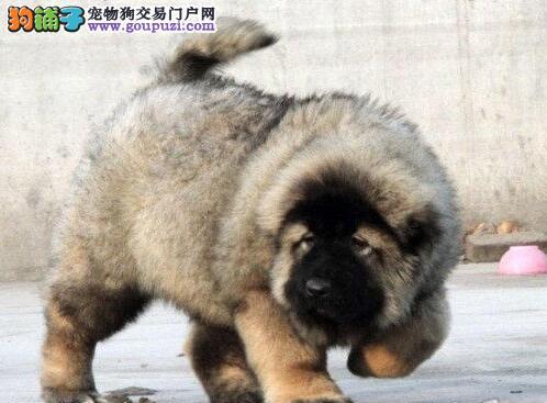 CKU认证出售纯种高加索幼犬 终身质保