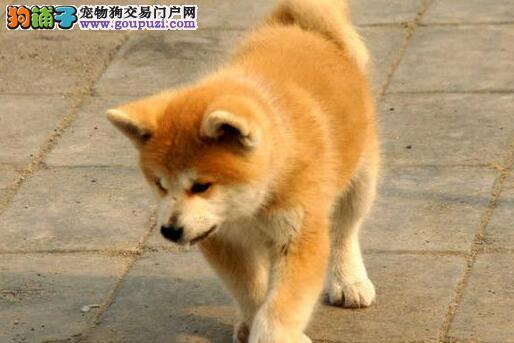 家养极品秋田犬出售 可见父母颜色齐全喜欢的别错过