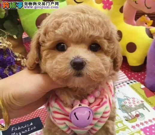 多种颜色的长沙泰迪犬找新宠主 爱狗人士优先选购