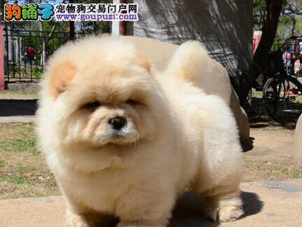 精心繁殖的南昌松狮犬低价出售 可当场做检查保健康