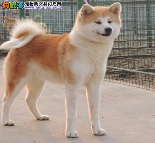 海口犬舍出售活泼靓丽色泽纯正的秋田犬 保障高品质