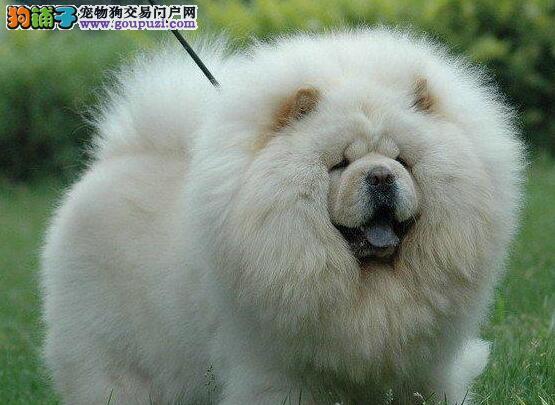 定西正规狗场犬舍直销松狮幼犬质量三包完美售后