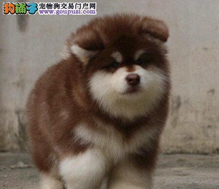 一生好狗 一生朋友 阿拉斯加雪橇犬是你最好的选择