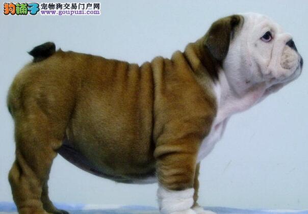 出售英国斗牛犬幼犬、金牌店铺放心选、三包终生协议