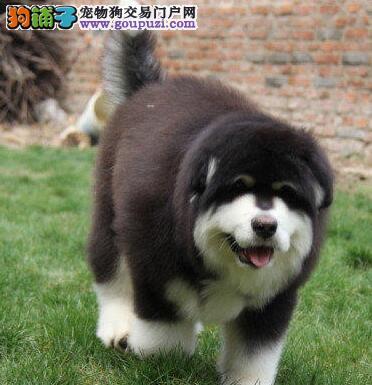 桃脸十字脸品相的徐州阿拉斯加犬找新家 签终身协议