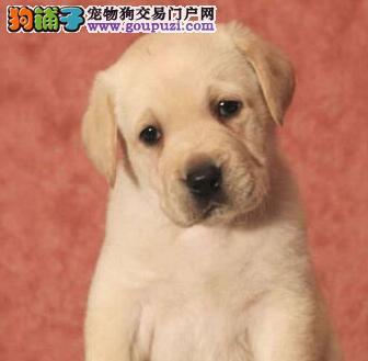 极品纯正的拉布拉多幼犬热销中真实照片视频挑选