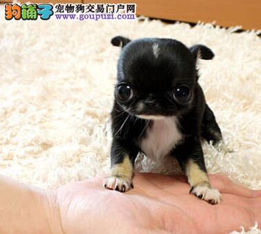 出售极品吉娃娃幼犬 健康好 纯度佳