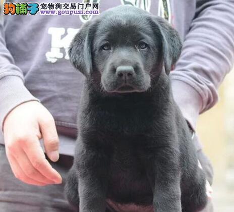 商丘自家狗场繁殖直销拉布拉多幼犬品质血统售后均有保障