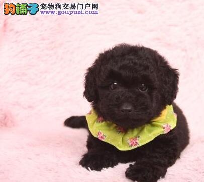 毛量大面相甜美的广州泰迪犬找新家最优信誉最诚服务
