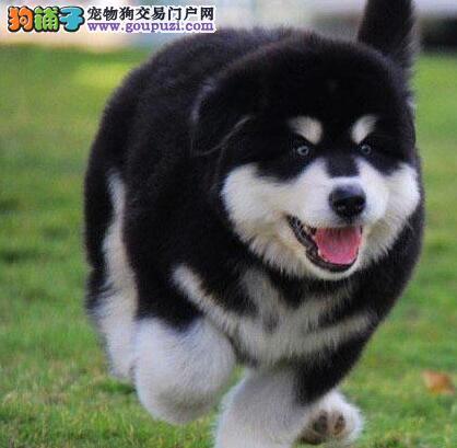常年出售高品质黑色阿拉斯加成幼犬。