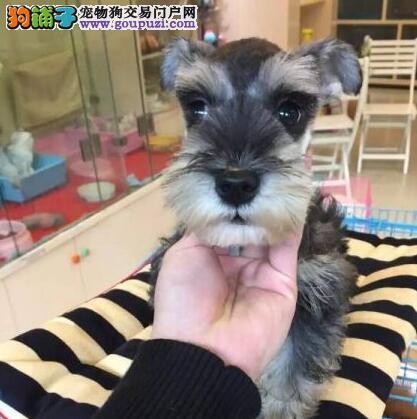 犬舍直销品种纯正健康青岛雪纳瑞青岛市内免费送货