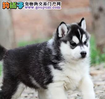杭州犬舍出售品相好疫苗齐全的哈士奇包售后