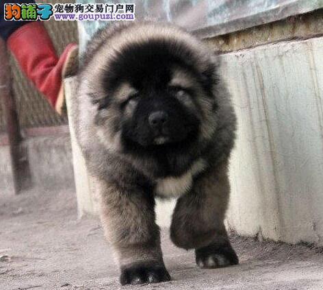 最大犬舍出售多种颜色高加索优质售后服务