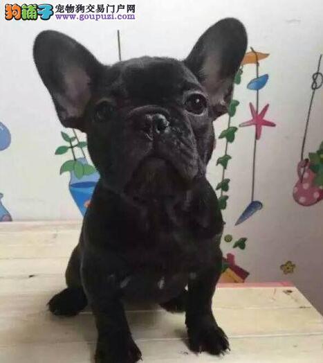 高端法国斗牛犬幼犬、真实照片视频挑选、喜欢加微信
