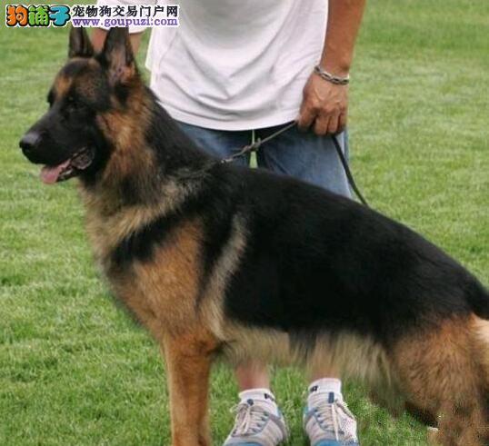 广州哪里买狗好 在广州哪里买狗比较好 买德牧犬好