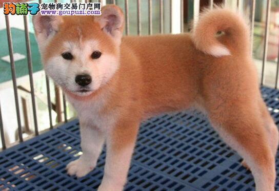 出售秋田犬宝宝、品质极佳品相超好、全国空运到家