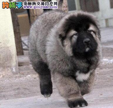 CKU犬舍认证广东出售纯种高加索签署各项质保合同